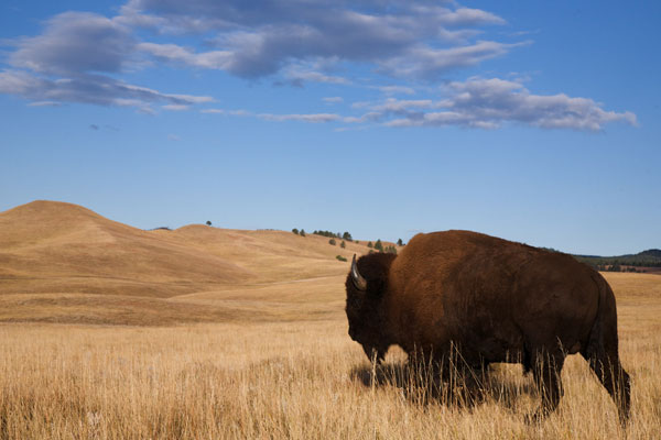 A bison on the REZ. The Future Game – The REZ