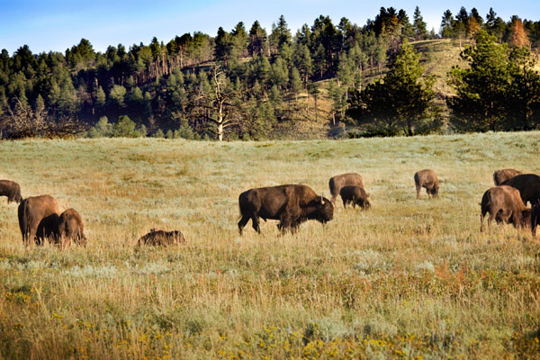 Bison grazing the REZ - The Future Game - The REZ